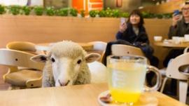 12_sheep_img-823724-794982